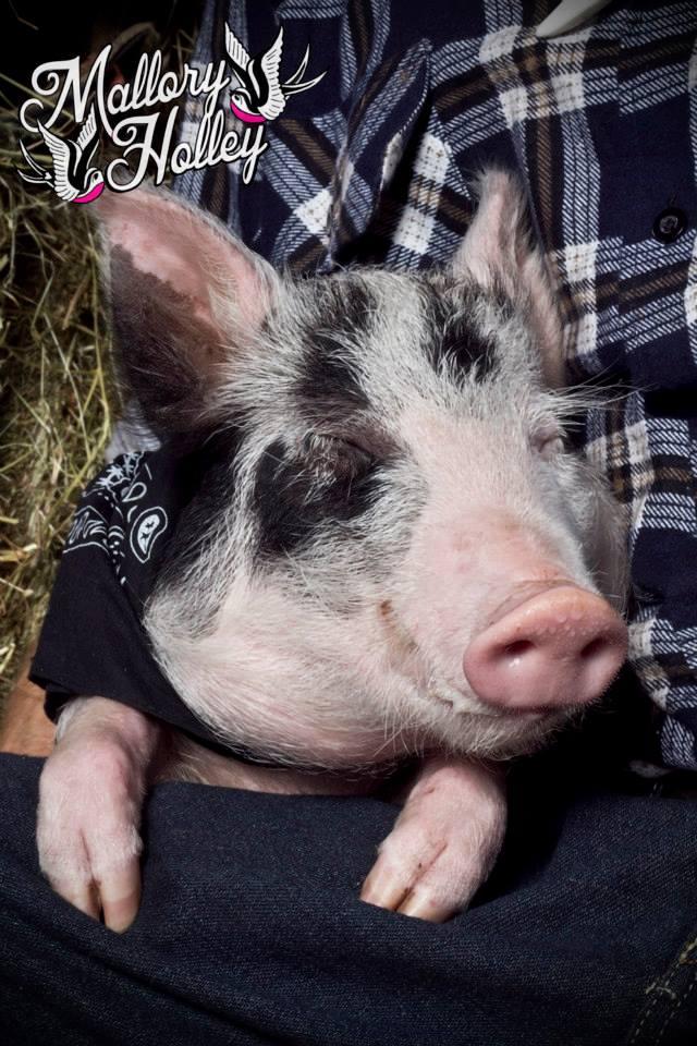 Diesel piglet cute baby pig