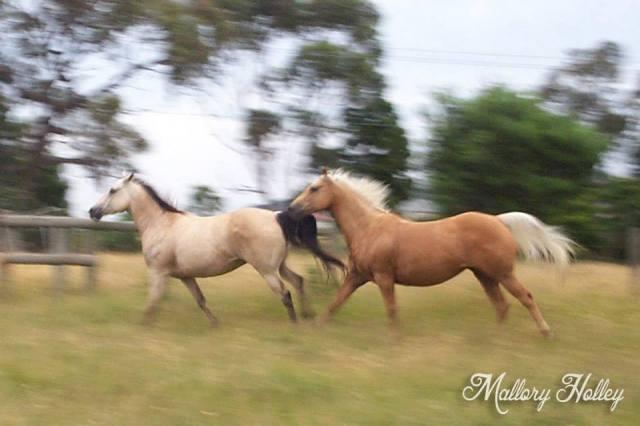 Running horses quarterhorse palomino buckskin Mallory Holley