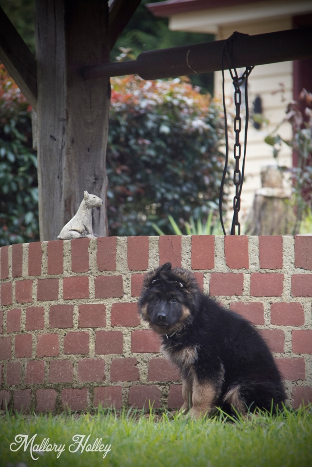 Dodge, my little brother's German Shepherd puppy sitting by the well.