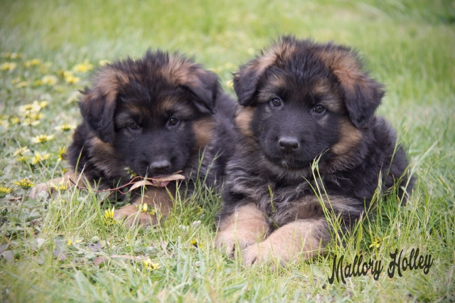 cadillac-and-her-brother-6-week-old-german-shepherd-puppies
