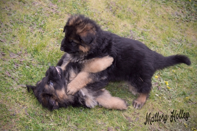 cadillac-playing-with-her-brother-6-week-old-gsd-puppies