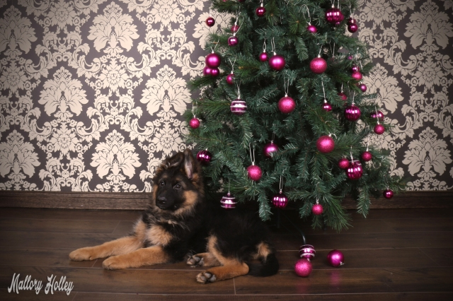 christmas-german-shepherd-puppy-photoshoot-cadillac
