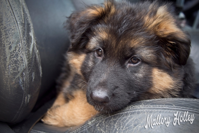 my-german-shepherd-puppy-cadillac-at-8-weeks-old