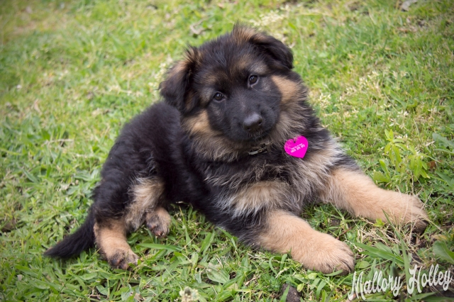 my-gsd-puppy-cadillac-at-8-weeks-old