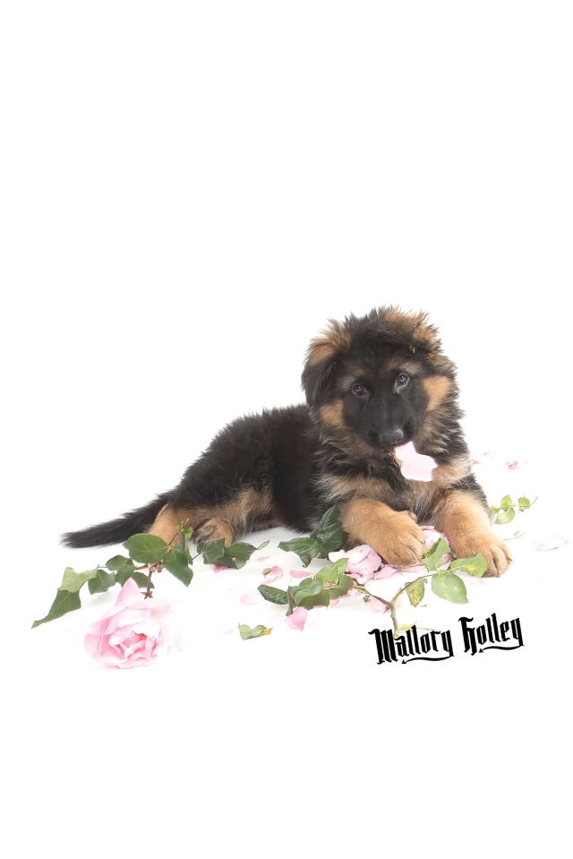 German Shepherd Puppy & chewed up roses