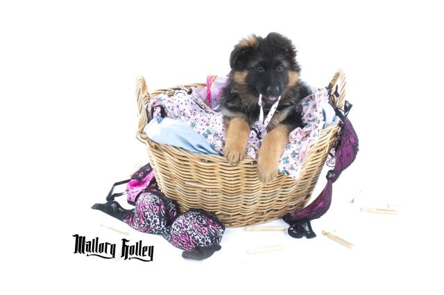German Shepherd Puppy chewing bra strap