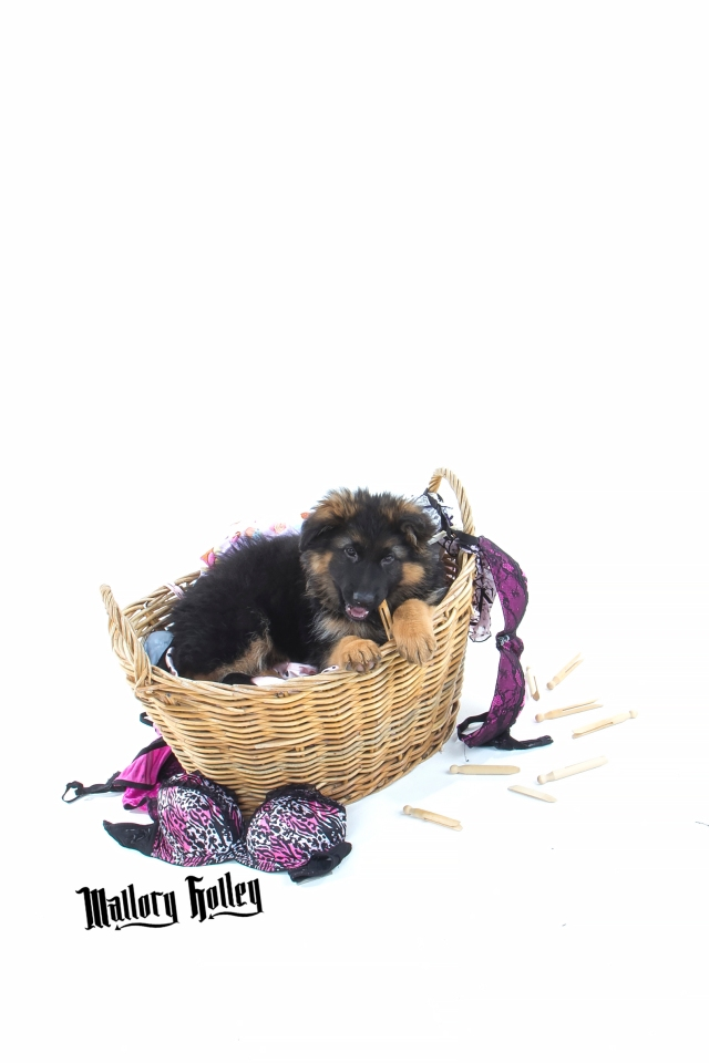 German Shepherd Puppy chewing washing pegs