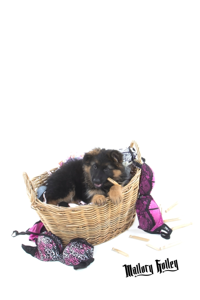 German Shepherd Puppy eating clothes pegs