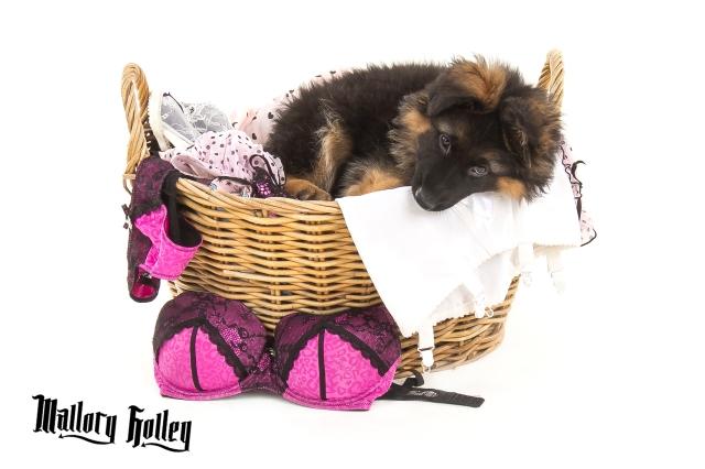 German Shepherd Puppy in Basket of Washing