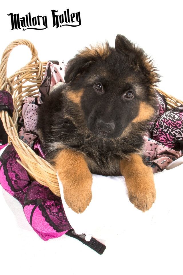 German Shepherd Puppy in Washing Basket