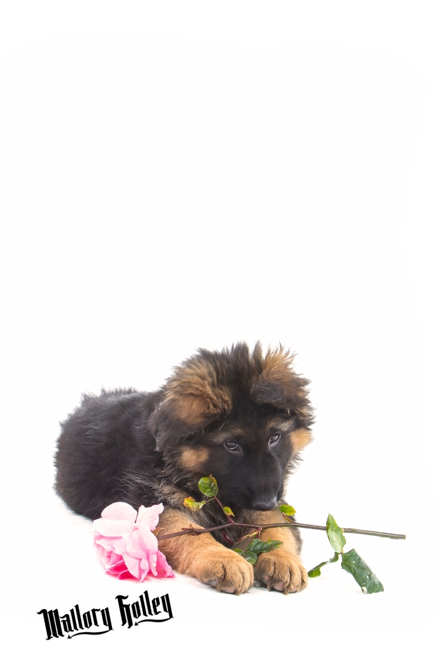 German Shepherd Puppy & Rose