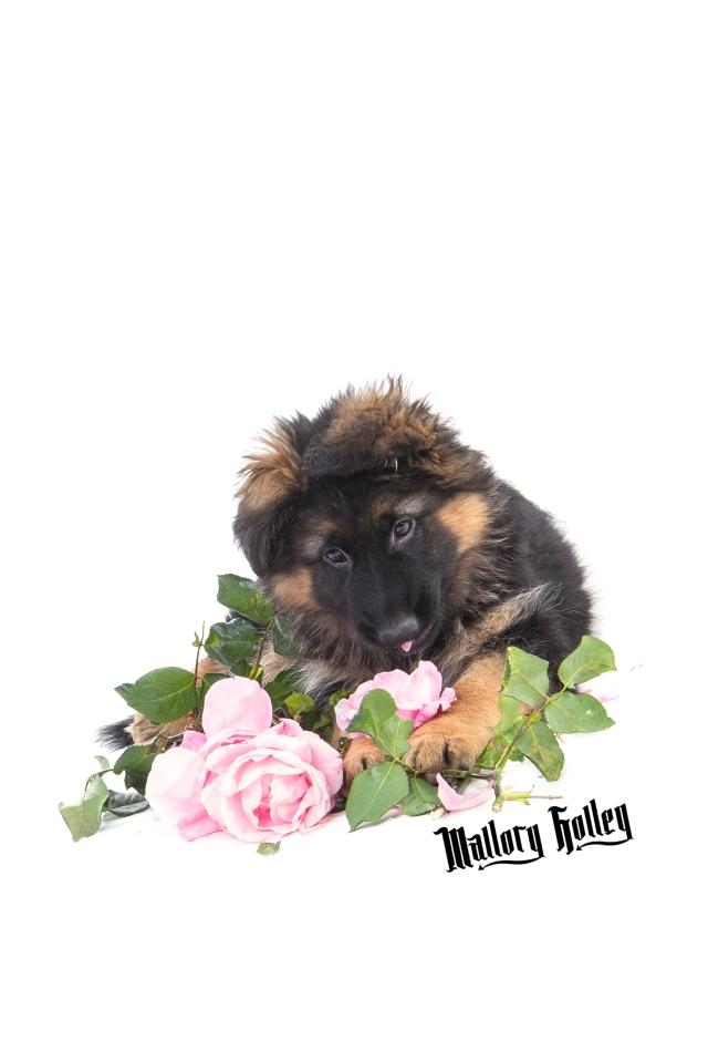 German Shepherd Puppy & Roses